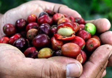 Глобальне потепління знищить більшу частину кави на Землі