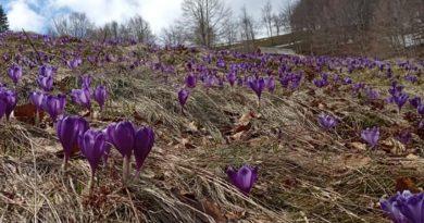 На полонині Красна – пора цвітіння брандуш (фото)