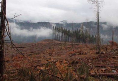 Розслідування Free Svydovets показало як лісники знищують Карпати