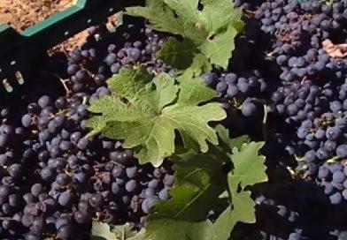 Збір винограду на Закарпатті розпочався на 2 тижні пізніше (відео)